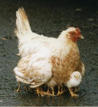 De kip met de vele poten